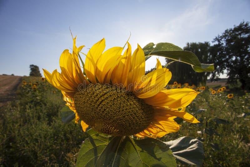 Download Słonecznik obraz stock. Obraz złożonej z idylliczny, botanika - 57673697