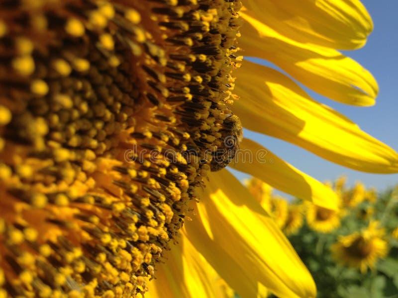 S?onecznik Z Z?otymi p?atkami Pszczo?y obsiadanie na zbierackim nektarze i kwiacie zdjęcia stock