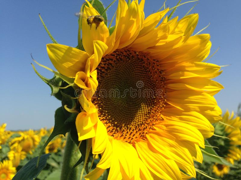 S?onecznik Z Z?otymi p?atkami Pszczo?y obsiadanie na zbierackim nektarze i kwiacie zdjęcie stock