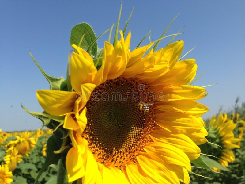S?onecznik Z Z?otymi p?atkami Pszczo?y obsiadanie na zbierackim nektarze i kwiacie obraz stock