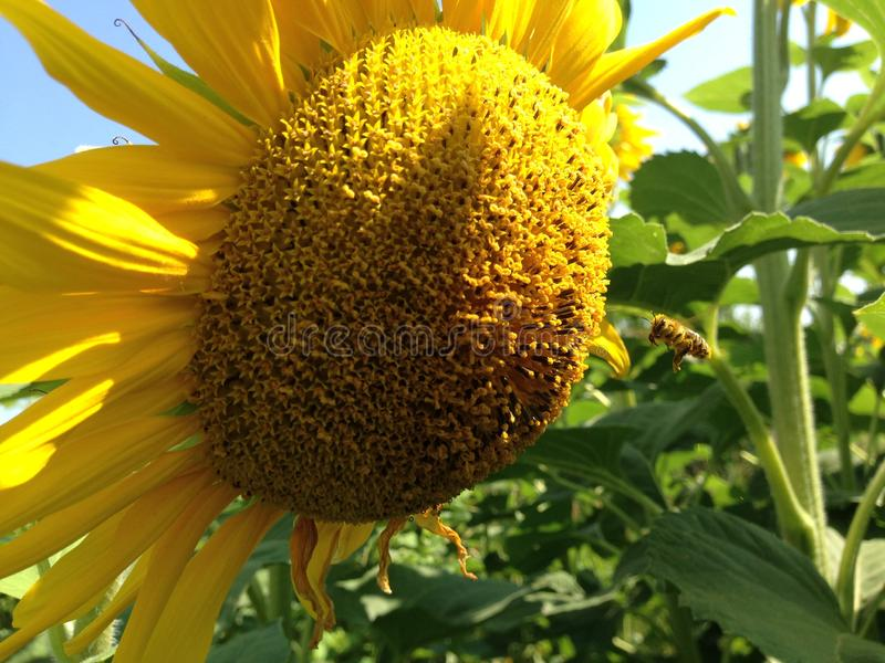 S?onecznik Z Z?otymi p?atkami Pszczo?y obsiadanie na zbierackim nektarze i kwiacie obrazy stock