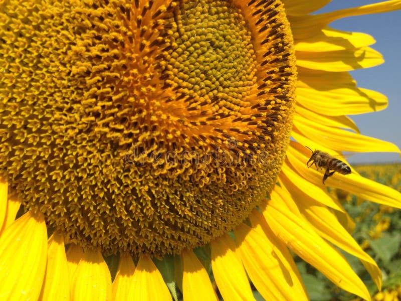 S?onecznik Z Z?otymi p?atkami Pszczo?y obsiadanie na zbierackim nektarze i kwiacie fotografia stock