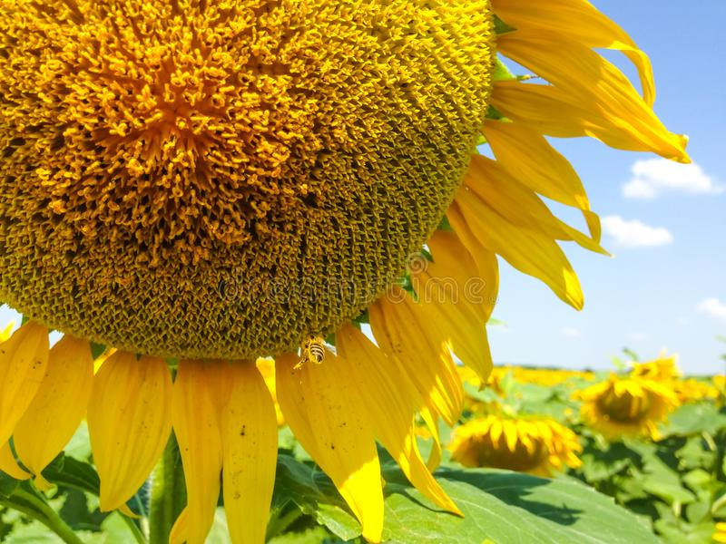 S?onecznik Z Z?otymi p?atkami Pszczo?y obsiadanie na zbierackim nektarze i kwiacie zdjęcie royalty free