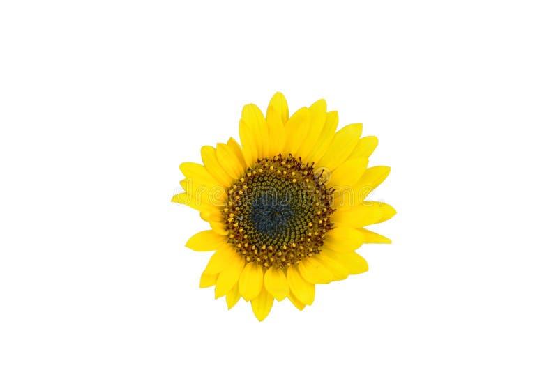 S?onecznikowy kwiat odizolowywaj?cy na bia?ym tle obraz stock