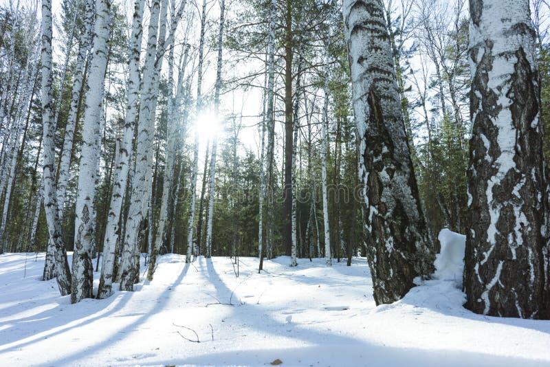 S?oneczny Dzie? w zimy brzozy drzewach Lasowych fotografia royalty free