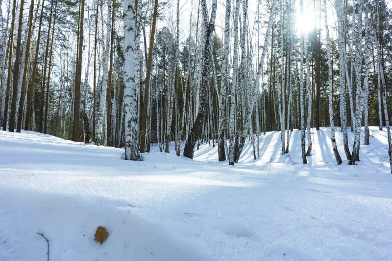 S?oneczny Dzie? w zimy brzozy drzewach Lasowych obrazy stock