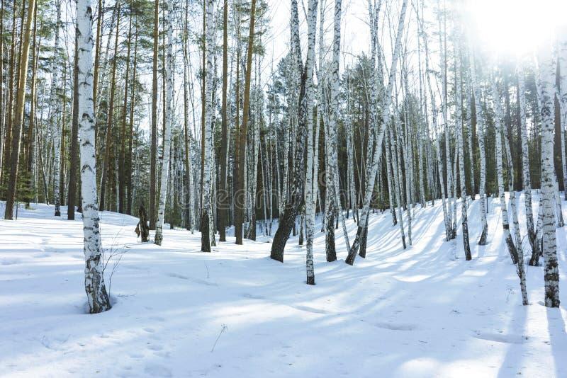 S?oneczny Dzie? w zimy brzozy drzewach Lasowych obraz royalty free