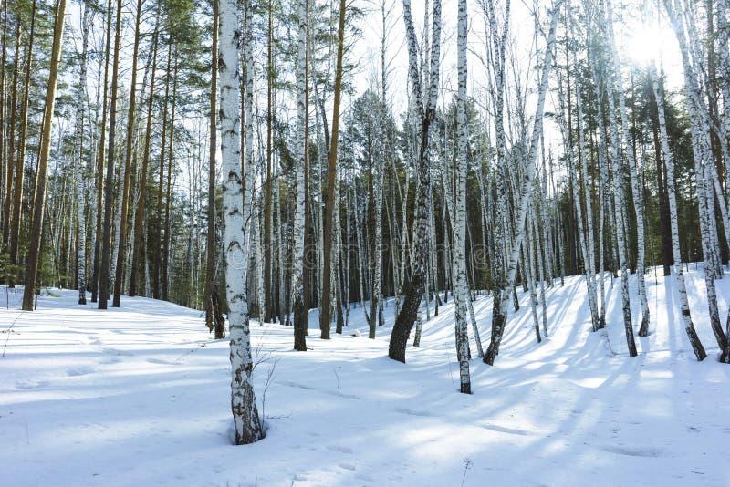 S?oneczny Dzie? w zimy brzozy drzewach Lasowych fotografia stock