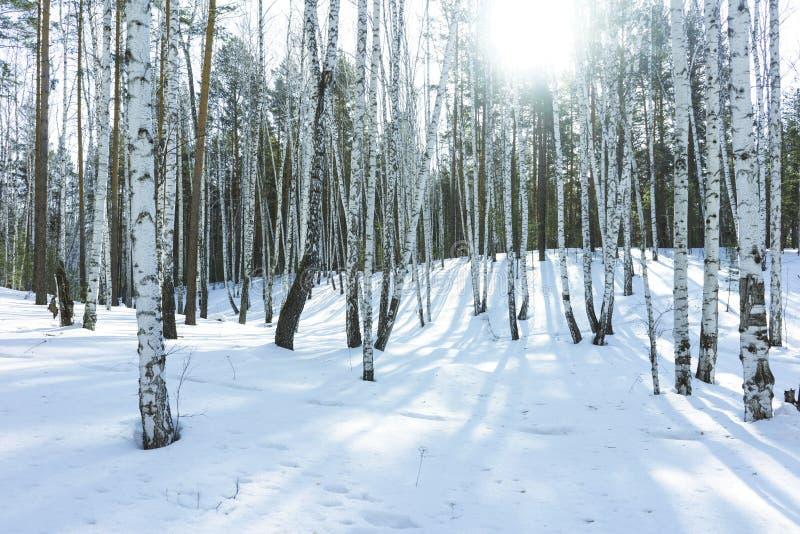 S?oneczny Dzie? w zimy brzozy drzewach Lasowych zdjęcia royalty free