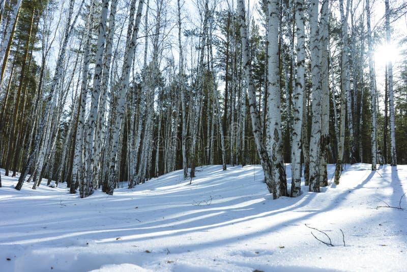 S?oneczny Dzie? w zimy brzozy drzewach Lasowych zdjęcie stock