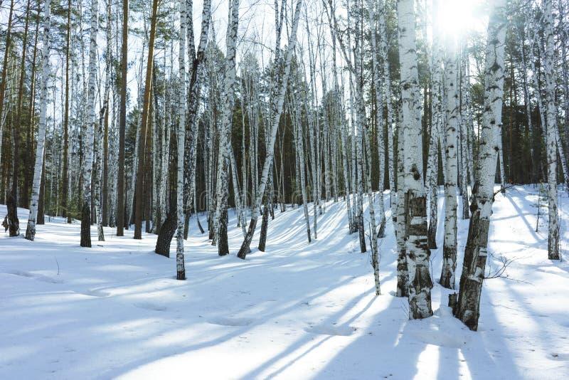 S?oneczny Dzie? w zimy brzozy drzewach Lasowych zdjęcia stock