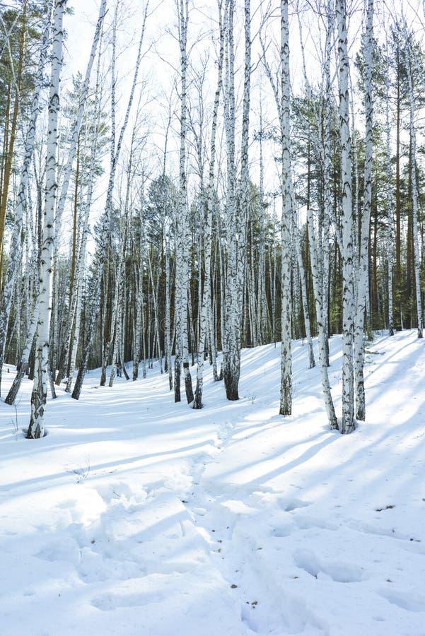 S?oneczny Dzie? w zimy brzozy drzewach Lasowych obrazy royalty free