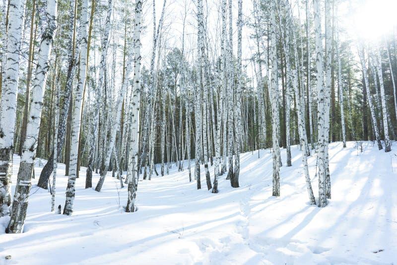 S?oneczny Dzie? w zimy brzozy drzewach Lasowych zdjęcie royalty free