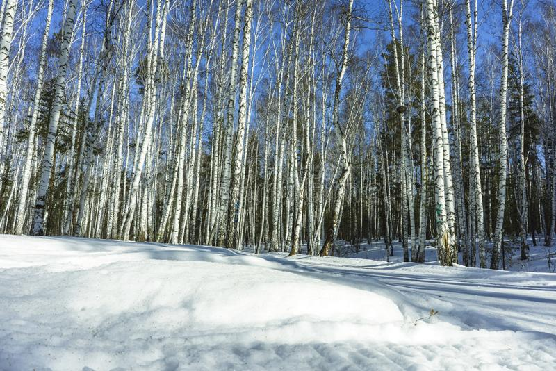 S?oneczny Dzie? w zimy brzozy drzewach Lasowych obraz stock