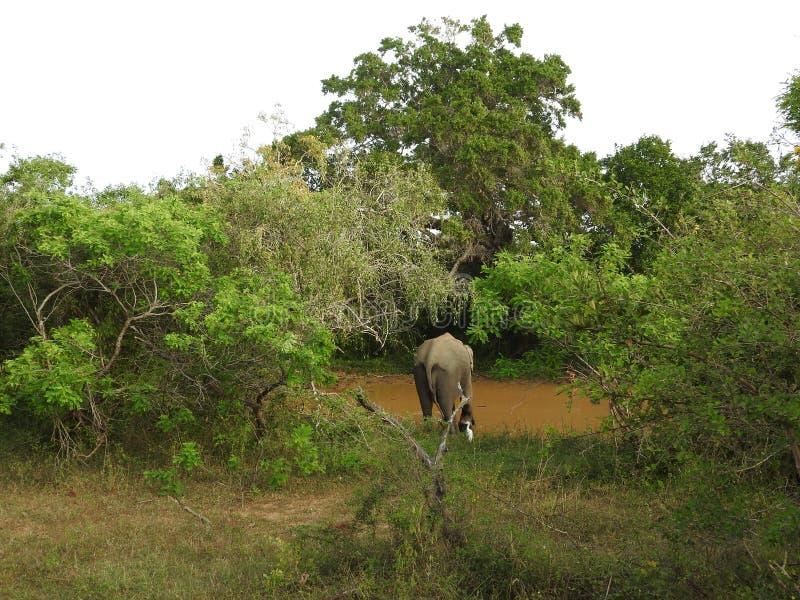 S?onie w Sri Lanka Dwa m?odego Azjatyckiego s?onia w parku narodowym, Sri Lanka Azjatyccy s?onie na trawie z g?rami i fotografia royalty free