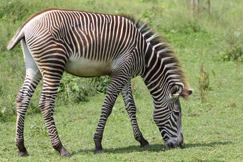 s pastwiskowa grevy zebra obrazy royalty free