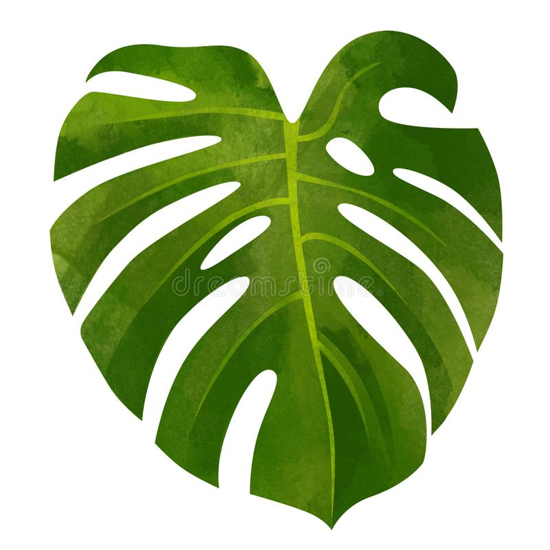 Tropical monstera green leaf isolated on white background. royalty free stock image