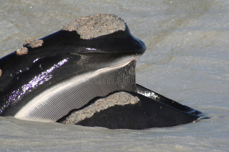 S R Whale head & baleen. A southern right whale skimming sea foam (scum) showing its baleen plates taken near Hermanus, South Africa stock images