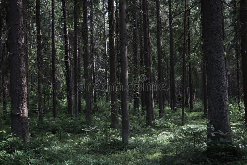 S?rja busksn?ret Skogbusksnåret, sörjer träd i den skogSt Petersburg regionen Ryssland, Toksovo Mörk kuslig pinjeskogmystiker s arkivbilder