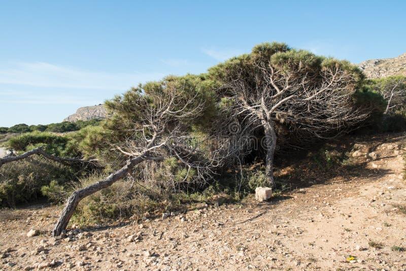s?rja windswept trees fotografering för bildbyråer
