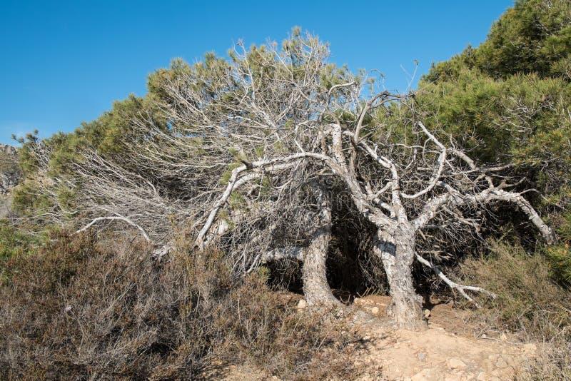 s?rja windswept trees royaltyfria foton