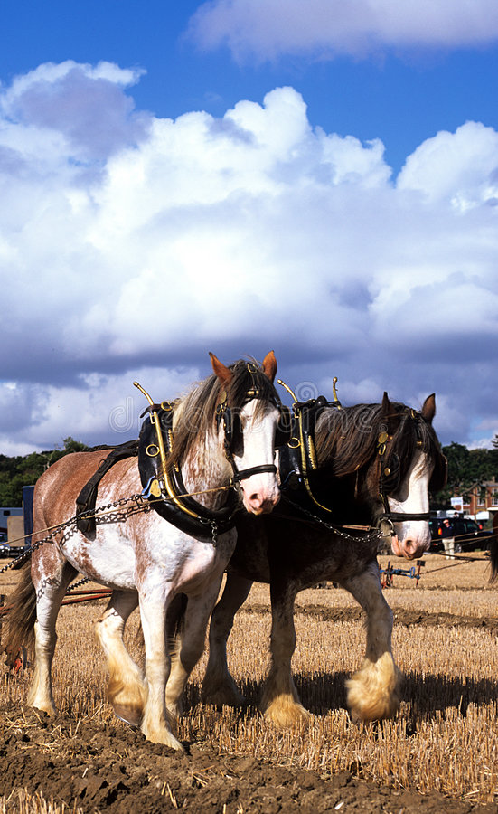 Download S-shirehorse arkivfoto. Bild av pull, tappning, angus, arbete - 249754