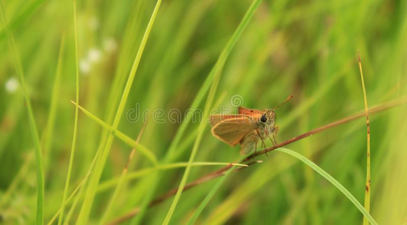A small butterfly poses on a straw. royalty free stock photography