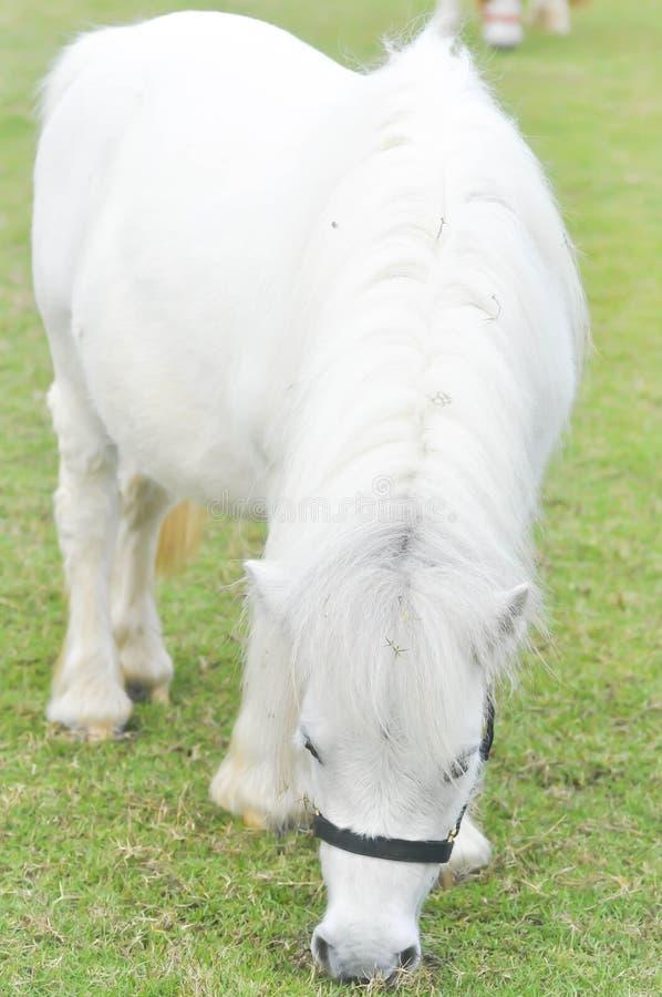 ` S som för vit häst äter något gräs på lantgården royaltyfri foto