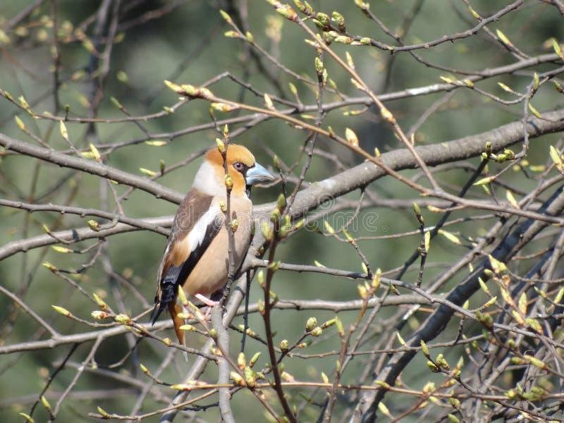 Grosbeak. It`s spring. The grosbeak. The thick bill. The orange head stock image