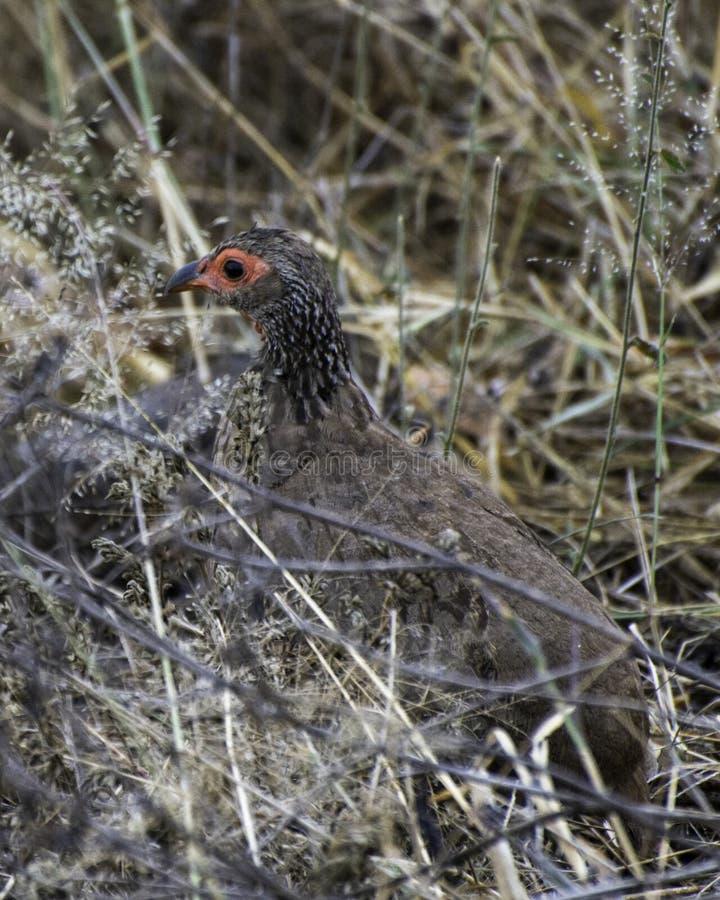 ` S Spurfowl de Swainson - safari da foto de África do Sul fotografia de stock