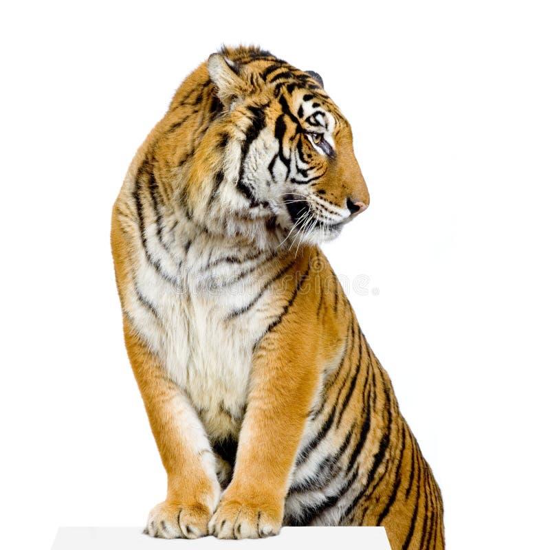 s stwarzać tygrysa obraz royalty free