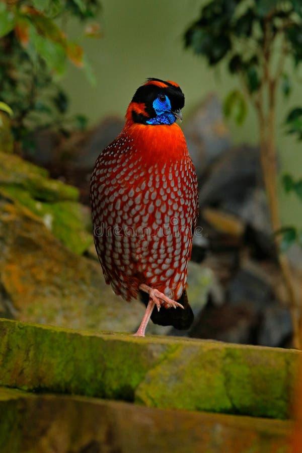 ` S Tragopan, temminckii di Tragopan, displeing di Temminck del fagiano raro nell'habitat della natura Uccello arancio nascosto n fotografie stock