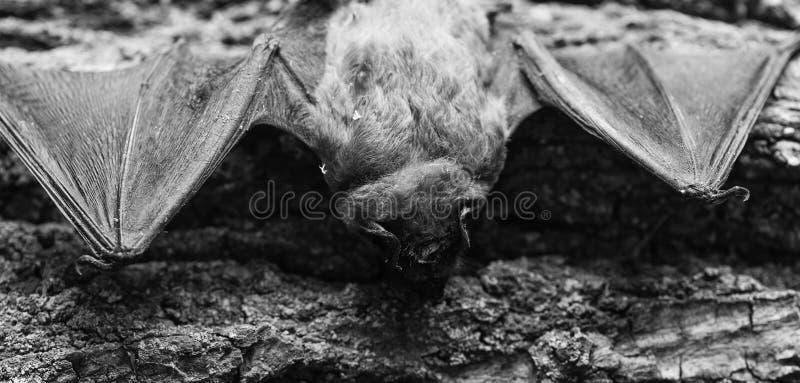 S?ugetiere nat?rlich f?hig zum wahren und nachhaltigen Flug Augen schlagen Spezieskleines schlecht entwickelt Schl?gerdetektor At lizenzfreie stockfotografie