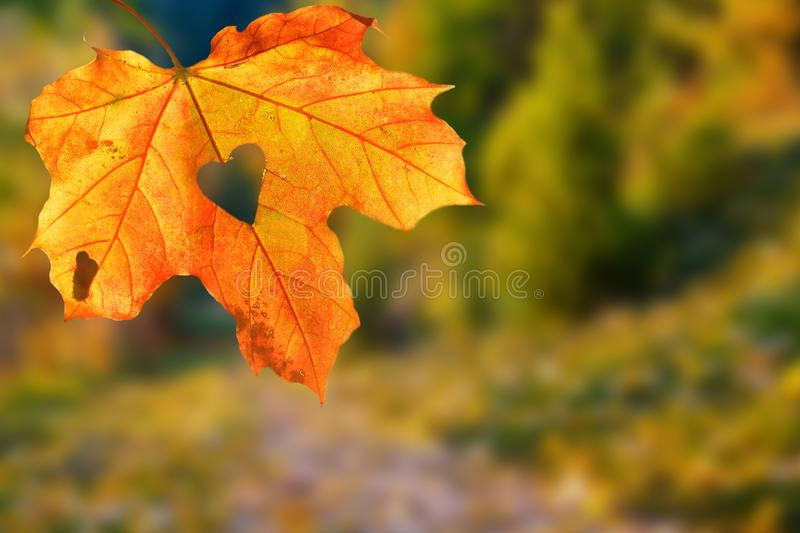 It`s a very nice detail in nature. A big orange leaf with a heart-shaped hole on it up close. Autumn landscapes in the background. royalty free stock photos