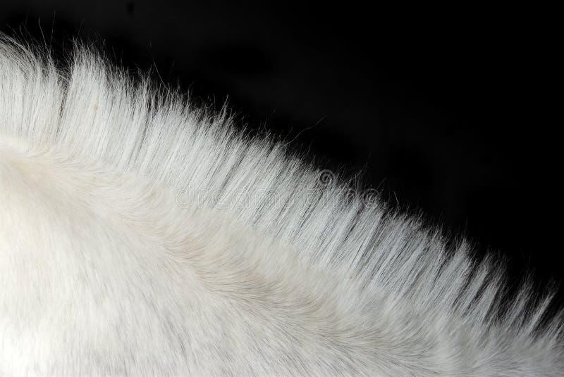 s white horse manes obrazy royalty free