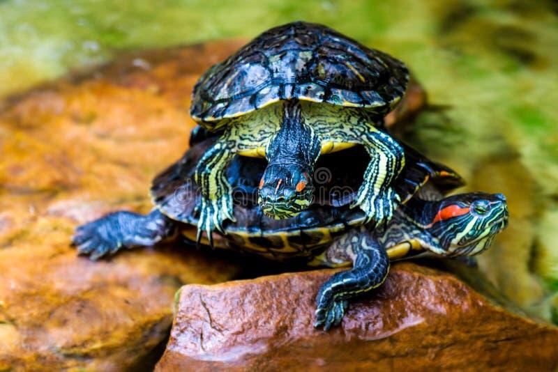 S?ysz?cy suwak Trachemys scripta elegans Pospolity suwaka żółwia dzikie zwierzę fotografia royalty free