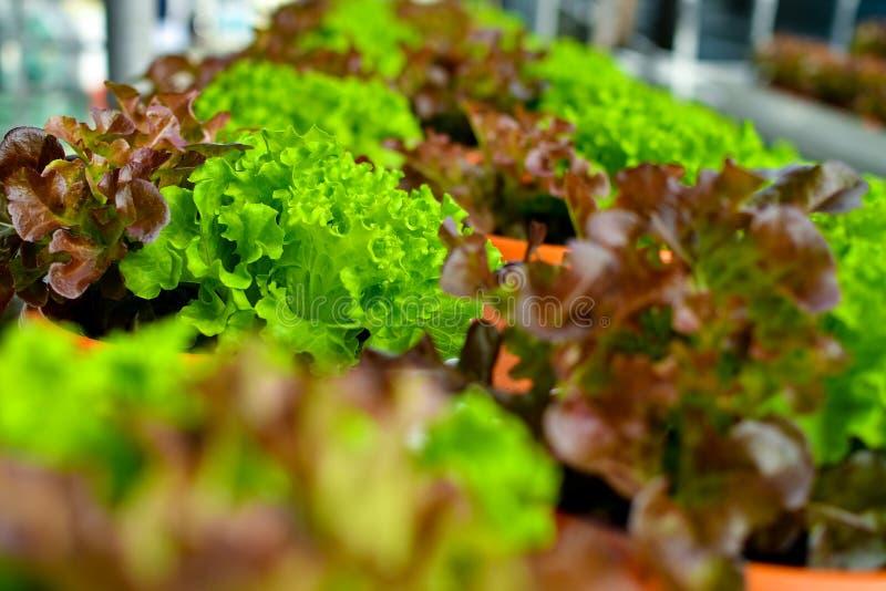 Sałat rośliny w garnkach obraz stock