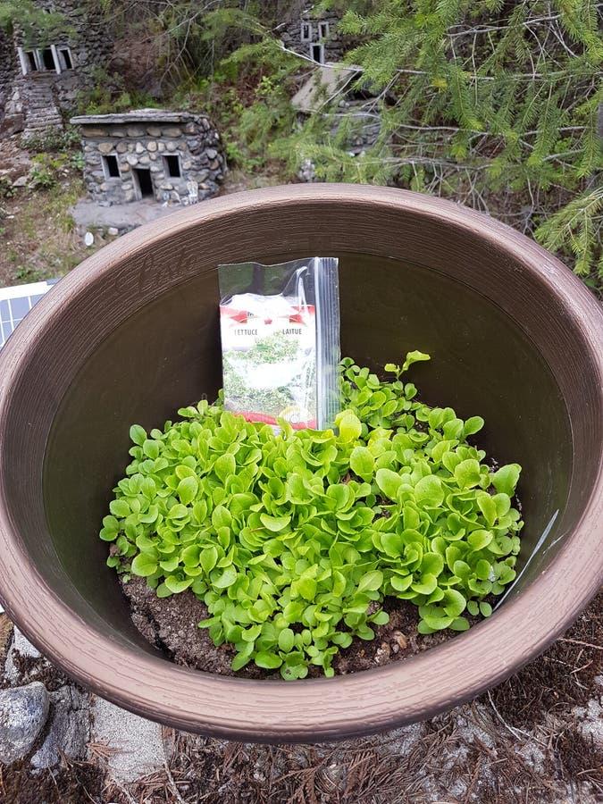 Sałata w balia outside ogródzie fotografia stock