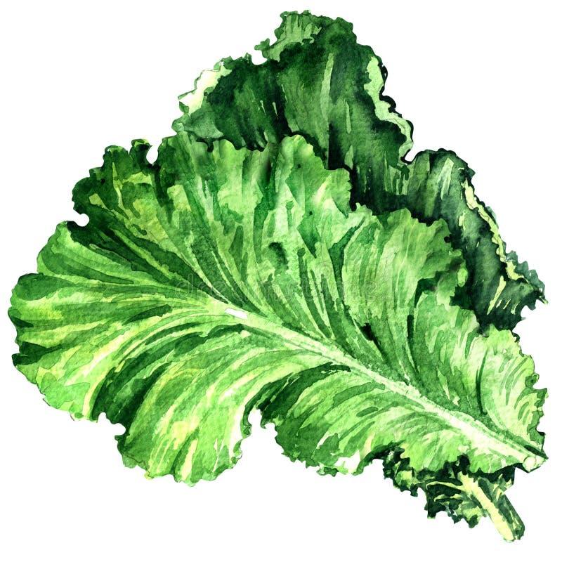 Sałatkowy liść, świeża sałata odizolowywająca, akwareli ilustracja na bielu ilustracji