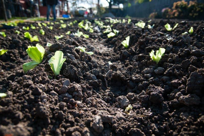 Sałaty plantaci szczegół fotografia royalty free