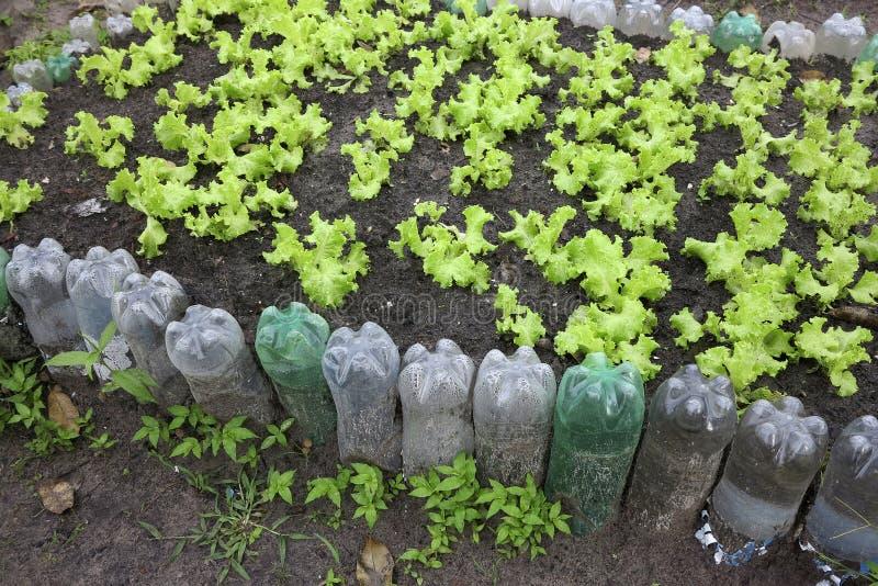 Sałaty plantacja z przetwarzającą butelką zdjęcie stock
