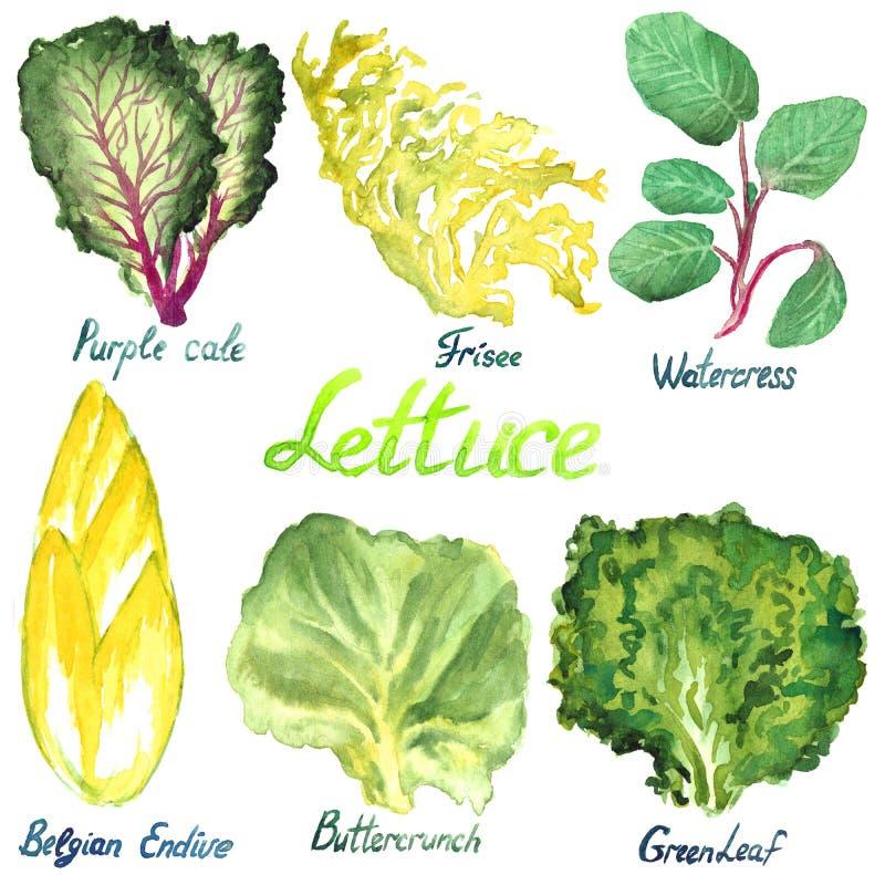 Sałaty rozmaitość ustawiająca: Purpurowy Cal, Frisee, Watercress, Belgijska endywia, Buttercrunch, Greenleaf ilustracja wektor