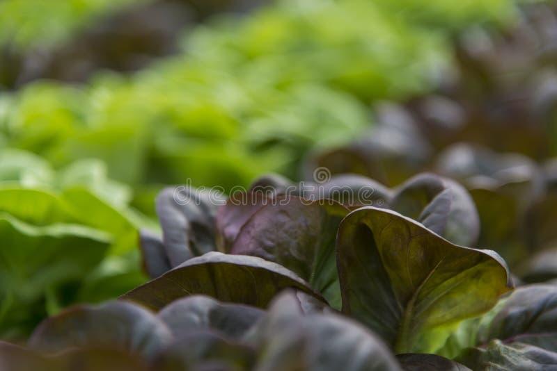 Download Sałat uprawy w szklarni obraz stock. Obraz złożonej z pośpiesza - 53792165
