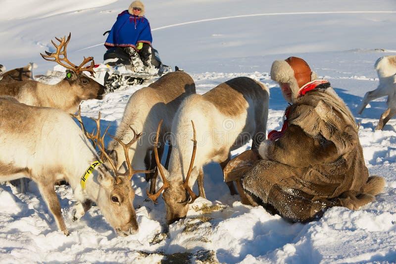 Saami män kommer med mat till renar i djup snövinter i den Tromso regionen, nordliga Norge arkivfoto