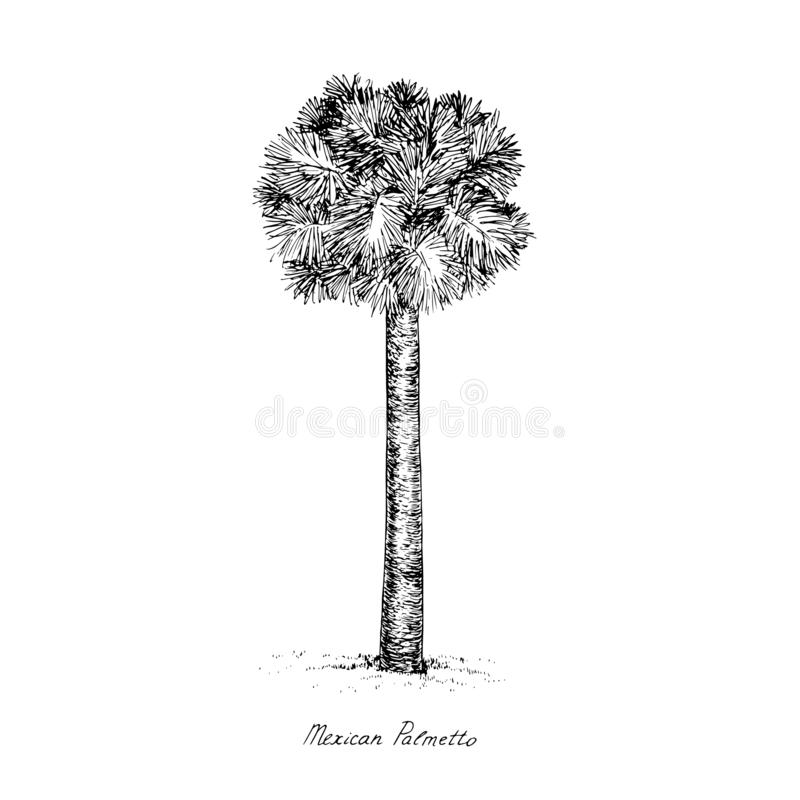 Sabal mexicana Rio Grande, Mexican or Texas palmetto, Texas sabal palm, palmmetto cabbage tree silhouette, hand drawn gravure. Style, vector sketch illustration vector illustration