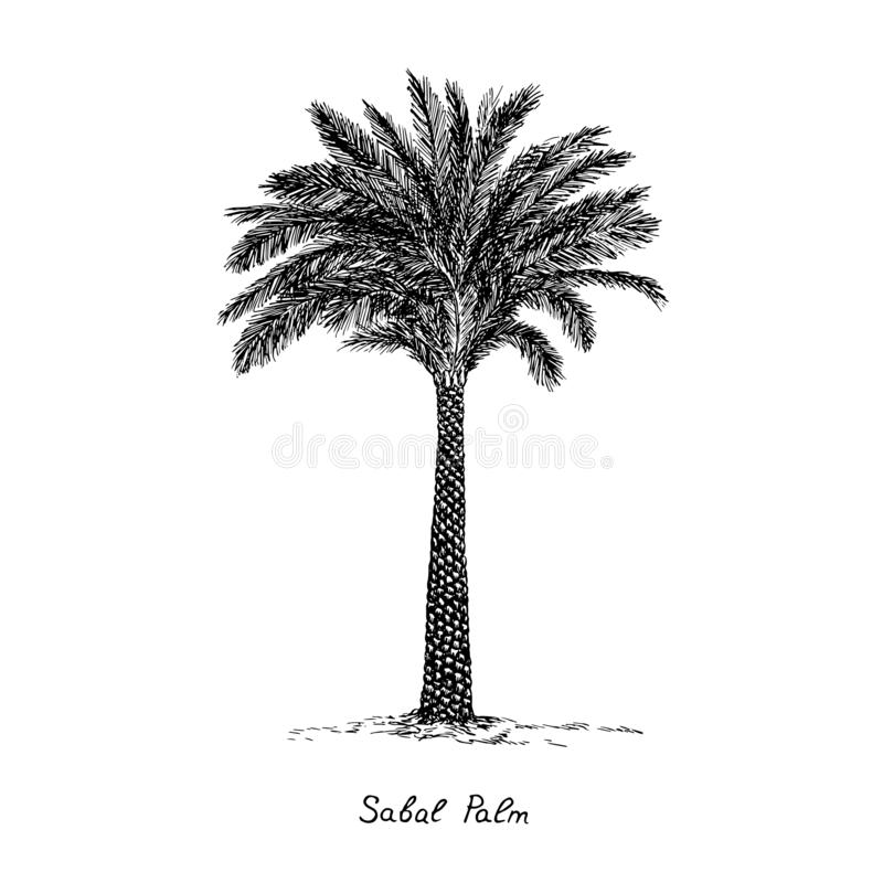Sabal Palm cabbage-palm, palmetto, cabbage, blue, Carolina or common palmetto, swamp cabbage tree silhouette, hand drawn gravure. Style, vector sketch royalty free illustration