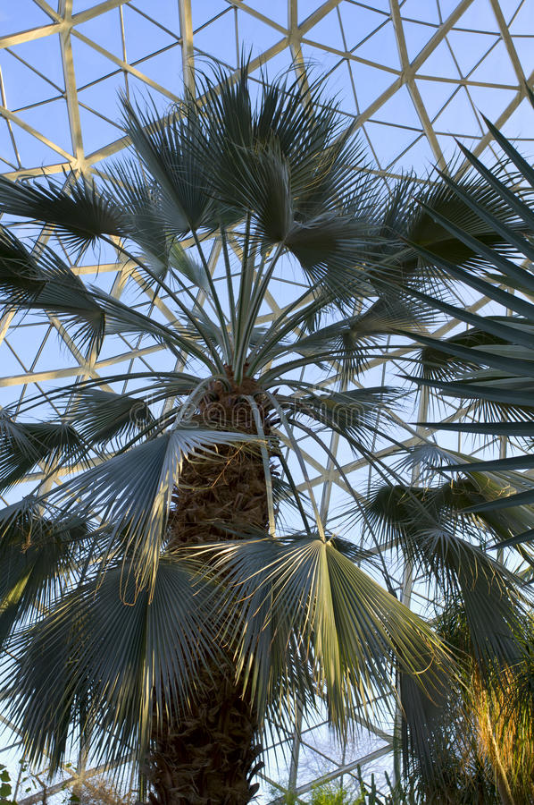 Sabal Palmetto in Conservatory. Sabal Palmetto tree or cycad under conservatory dome in Milwaukee stock photos