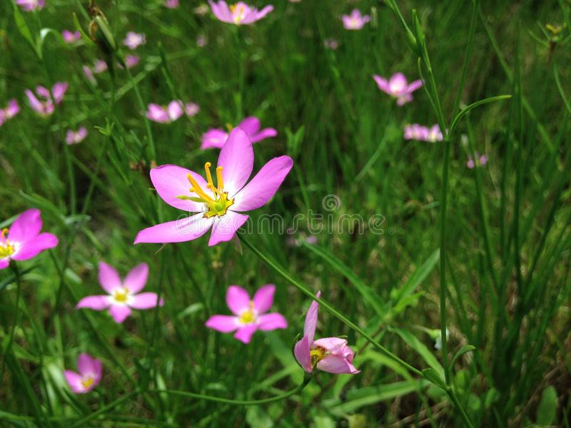 Sabatia Stellaris Plant Blossoming on Meadow in Port Orange, Florida. Sabatia Stellaris Rose of Plymouth, Marsh Pink, Salt-marsh Pink, and Sea-pink Plant stock photo