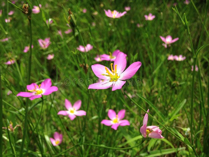 Sabatia Stellaris Plant Blossoming on Meadow in Port Orange, Florida. Sabatia Stellaris Rose of Plymouth, Marsh Pink, Salt-marsh Pink, and Sea-pink Plant stock photos