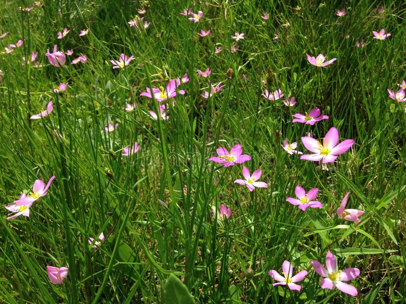 Sabatia Stellaris Plant Blossoming on Meadow in Port Orange, Florida. Sabatia Stellaris Rose of Plymouth, Marsh Pink, Salt-marsh Pink, and Sea-pink Plant royalty free stock images